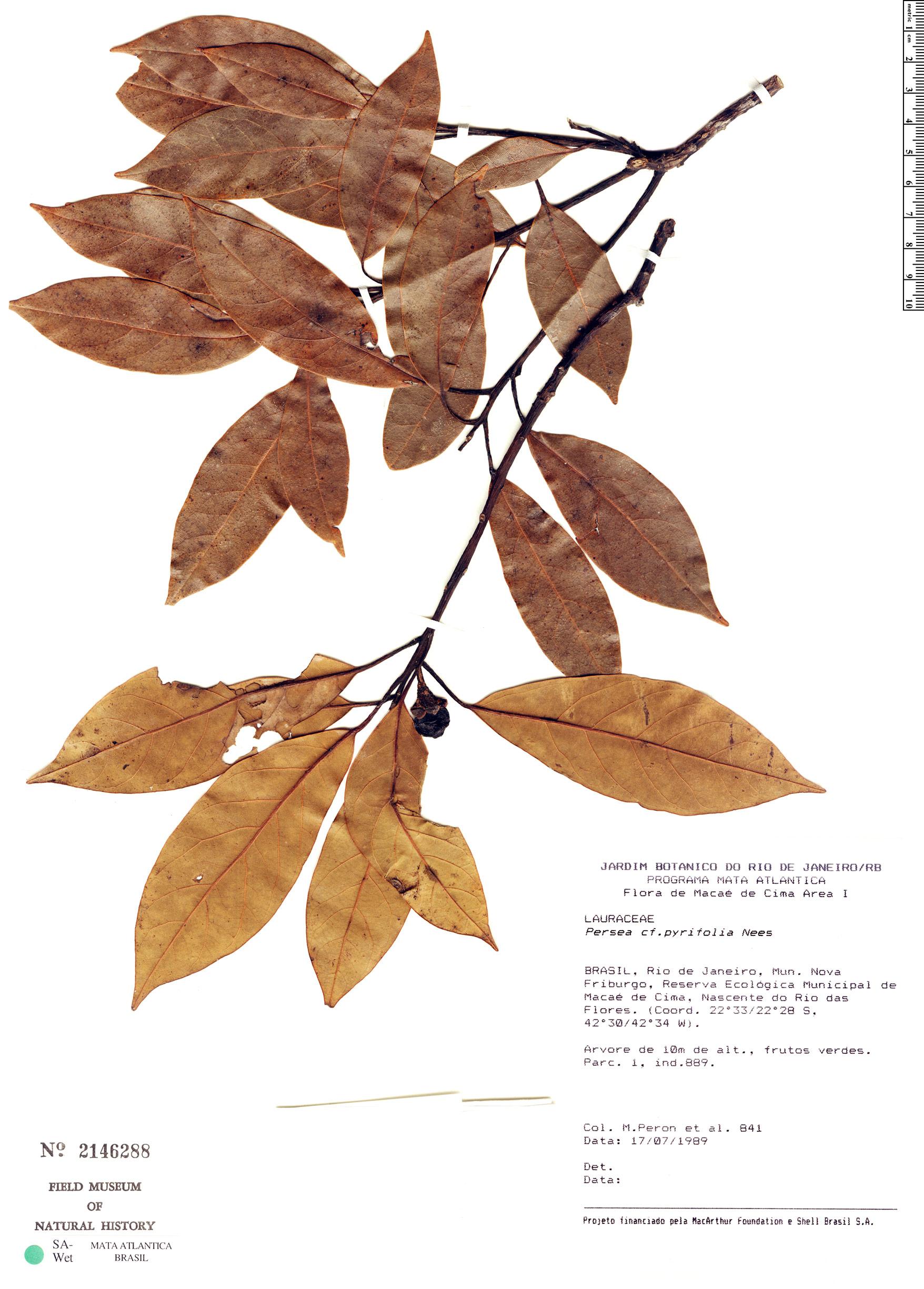 Specimen: Persea willdenovii