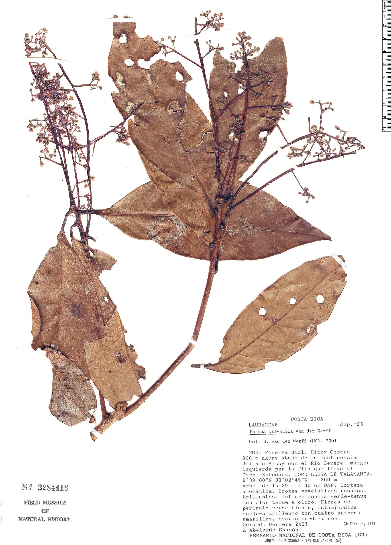 Espécimen: Persea silvatica