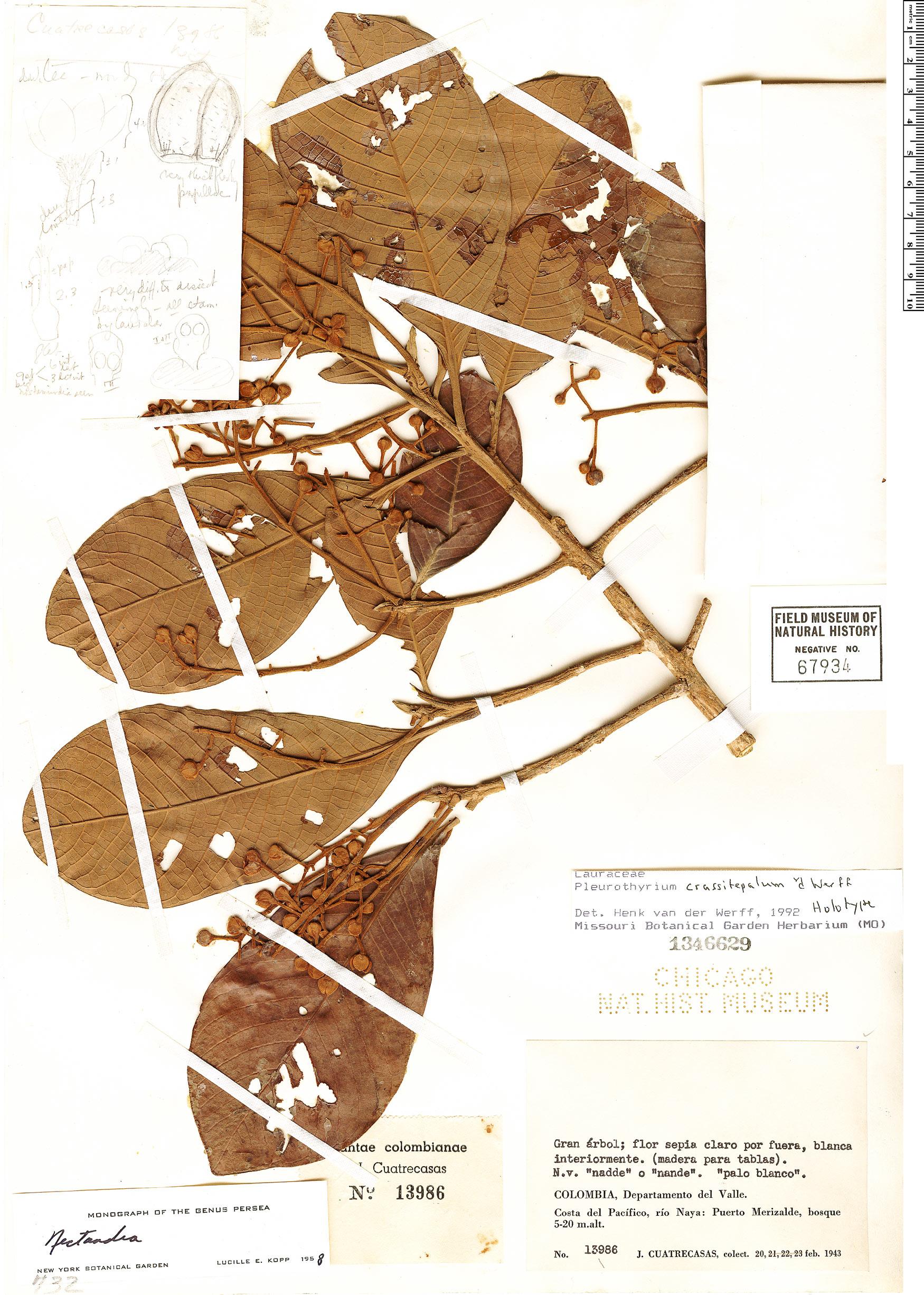 Specimen: Pleurothyrium crassitepalum