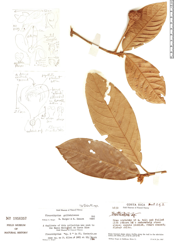 Specimen: Pleurothyrium golfodulcense