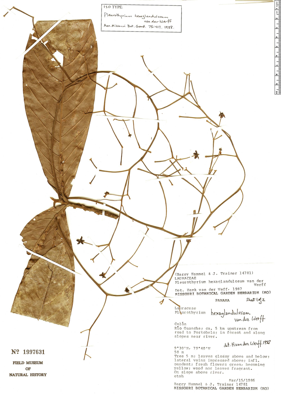 Specimen: Pleurothyrium hexaglandulosum