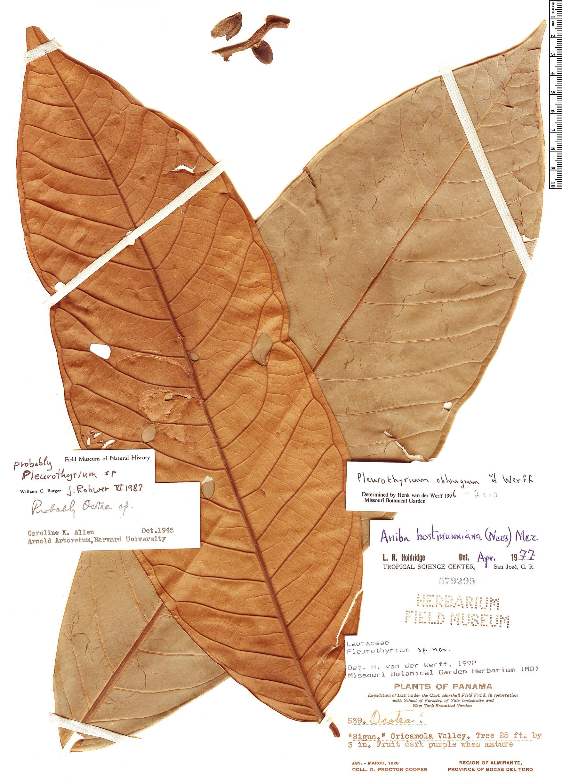 Specimen: Pleurothyrium oblongum