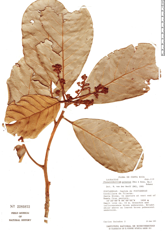 Specimen: Pleurothyrium palmanum