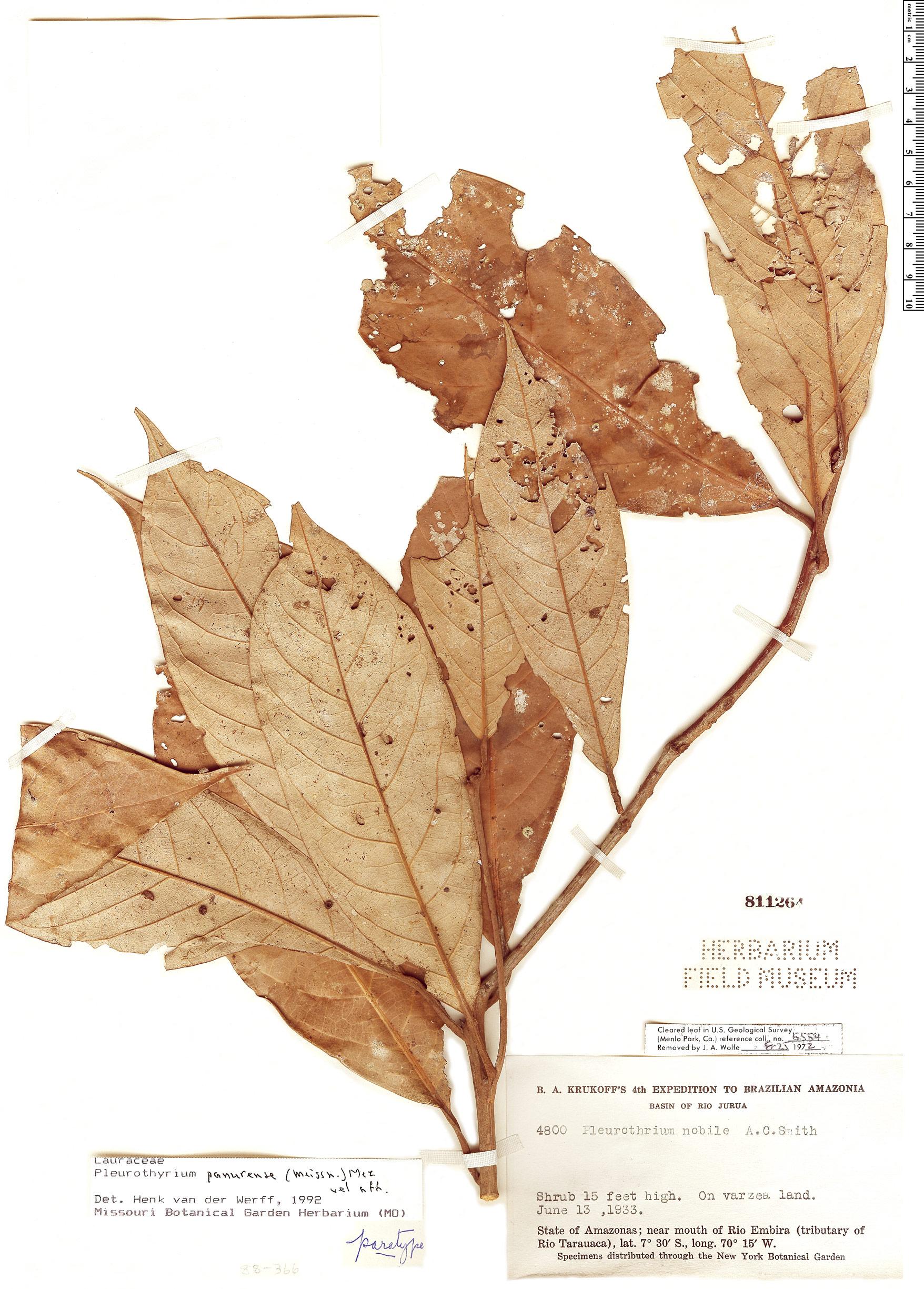 Specimen: Pleurothyrium panurense