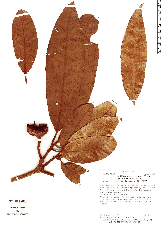 Specimen: Pleurothyrium pauciflorum