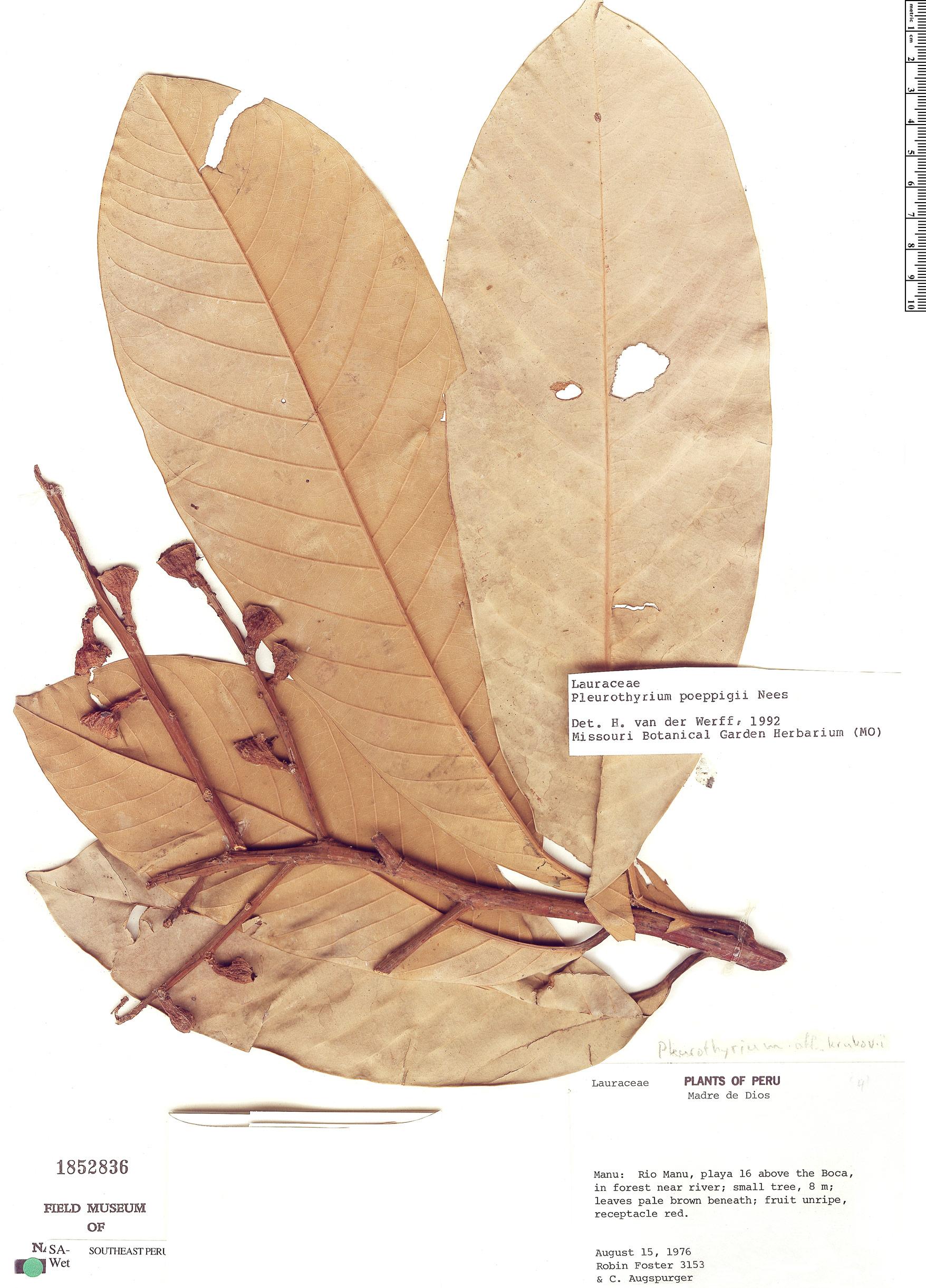 Specimen: Pleurothyrium poeppigii