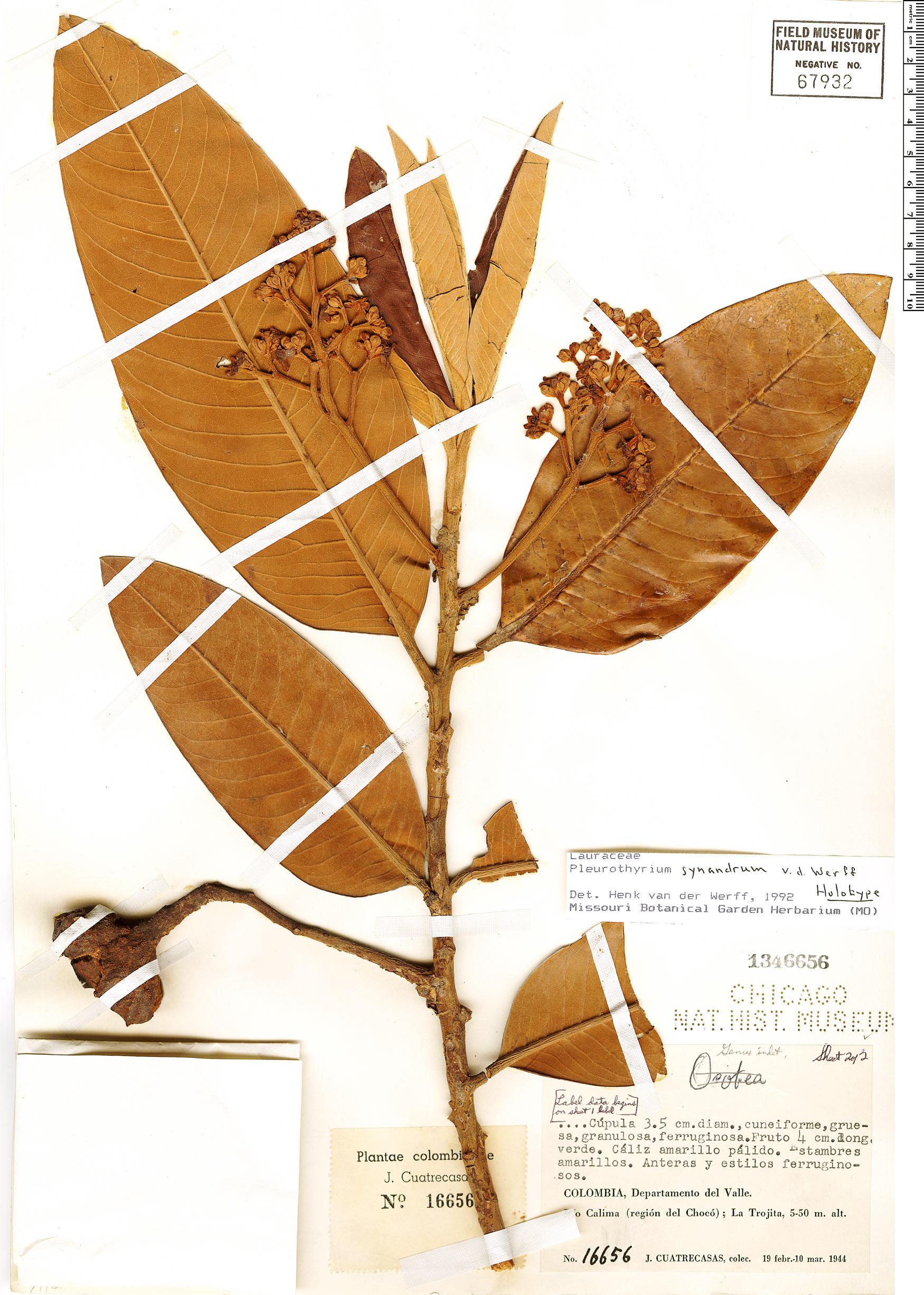 Specimen: Pleurothyrium synandrum