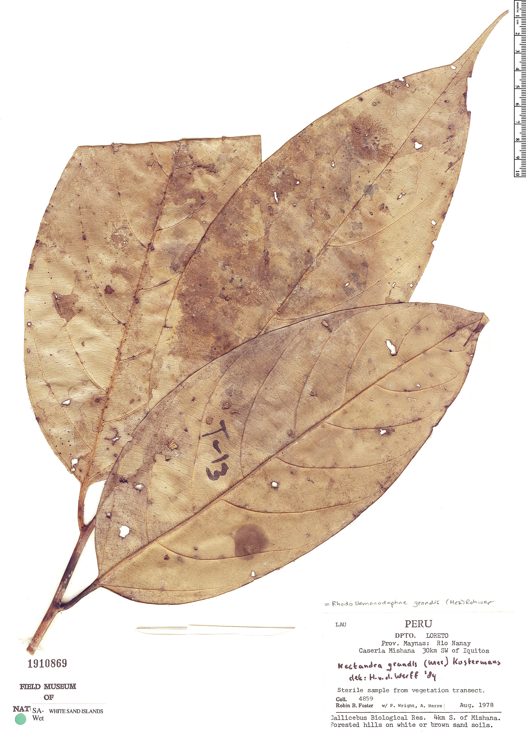 Specimen: Rhodostemonodaphne grandis