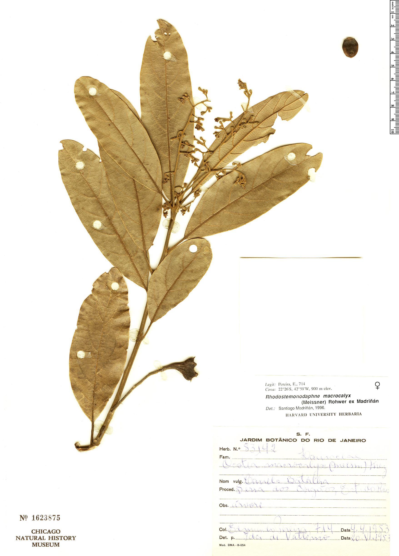 Specimen: Rhodostemonodaphne macrocalyx