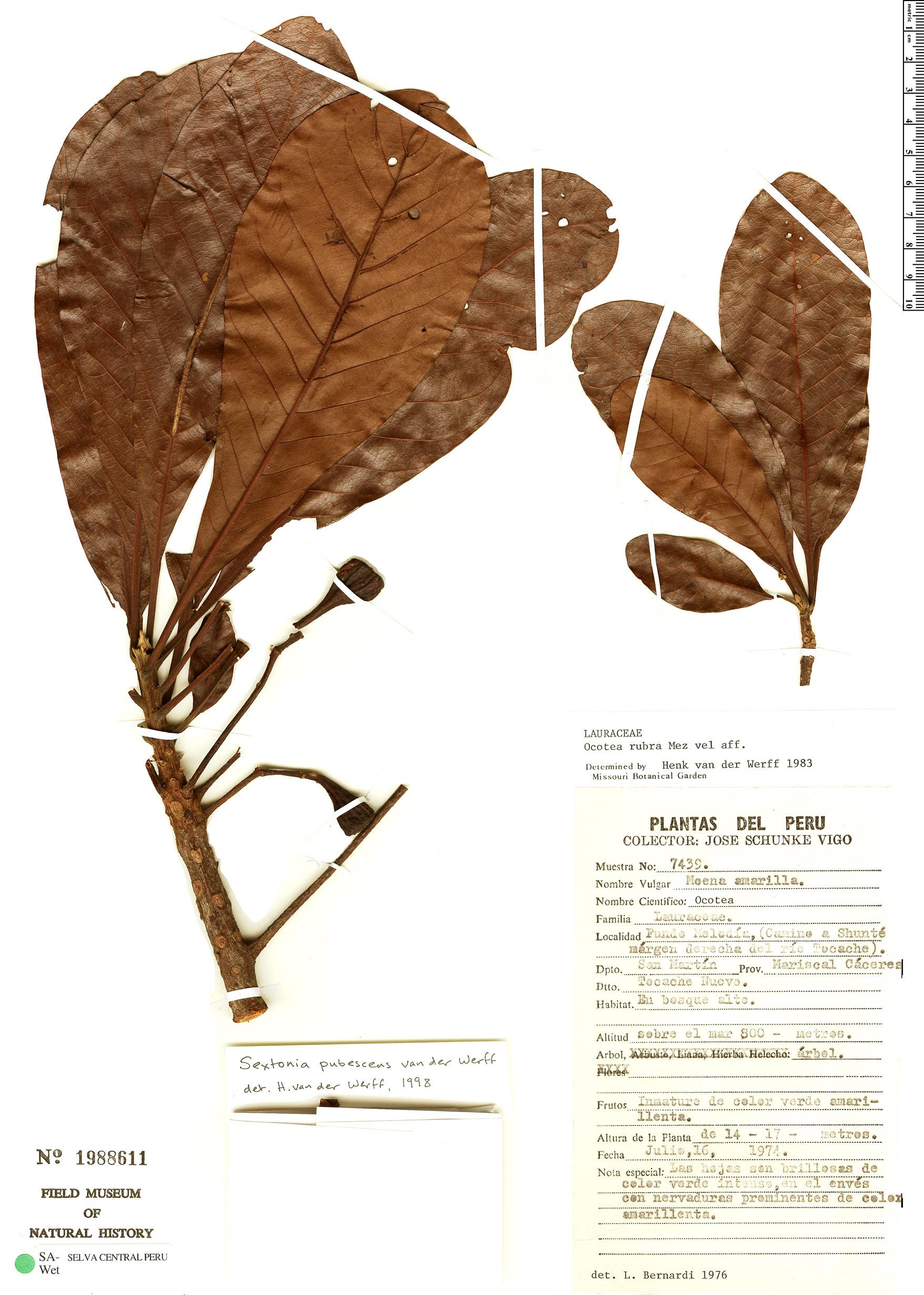Specimen: Sextonia pubescens