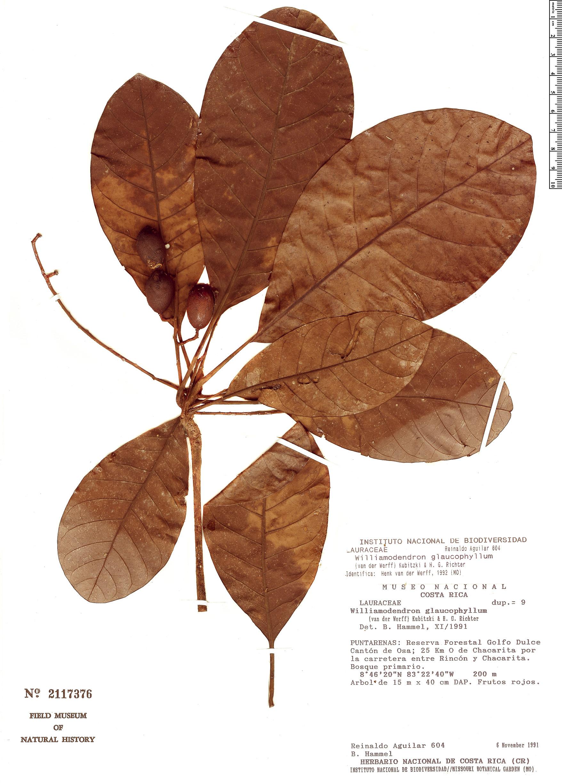 Specimen: Williamodendron glaucophyllum