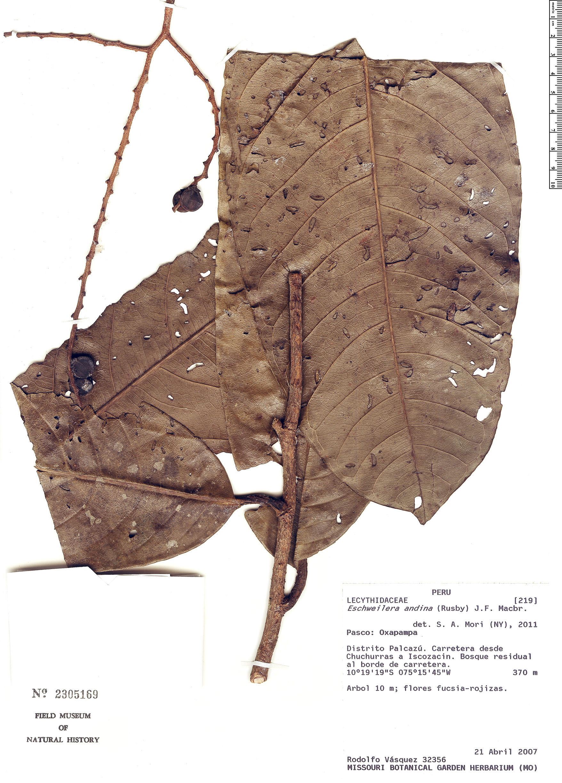 Specimen: Eschweilera andina