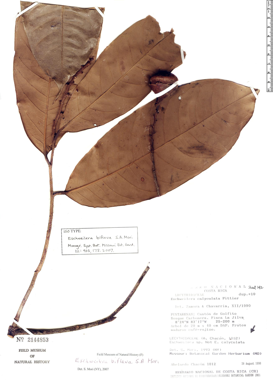 Specimen: Eschweilera biflava