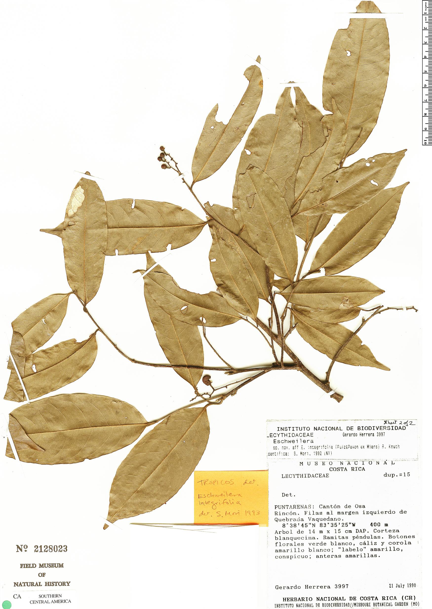 Specimen: Eschweilera aguilarii