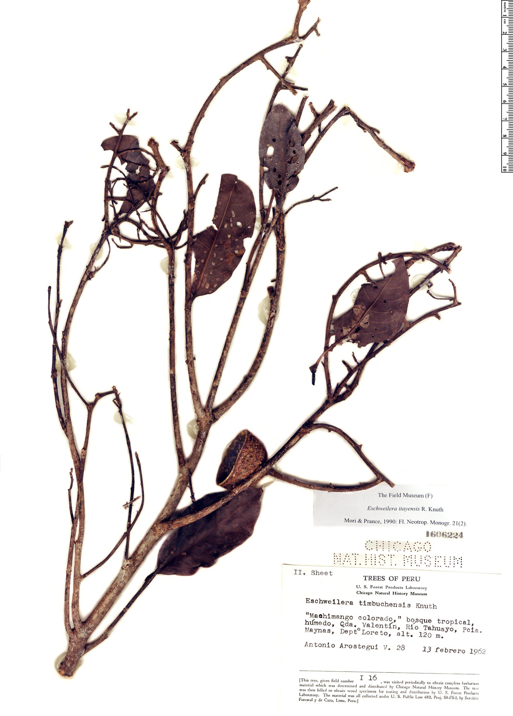 Specimen: Eschweilera itayensis