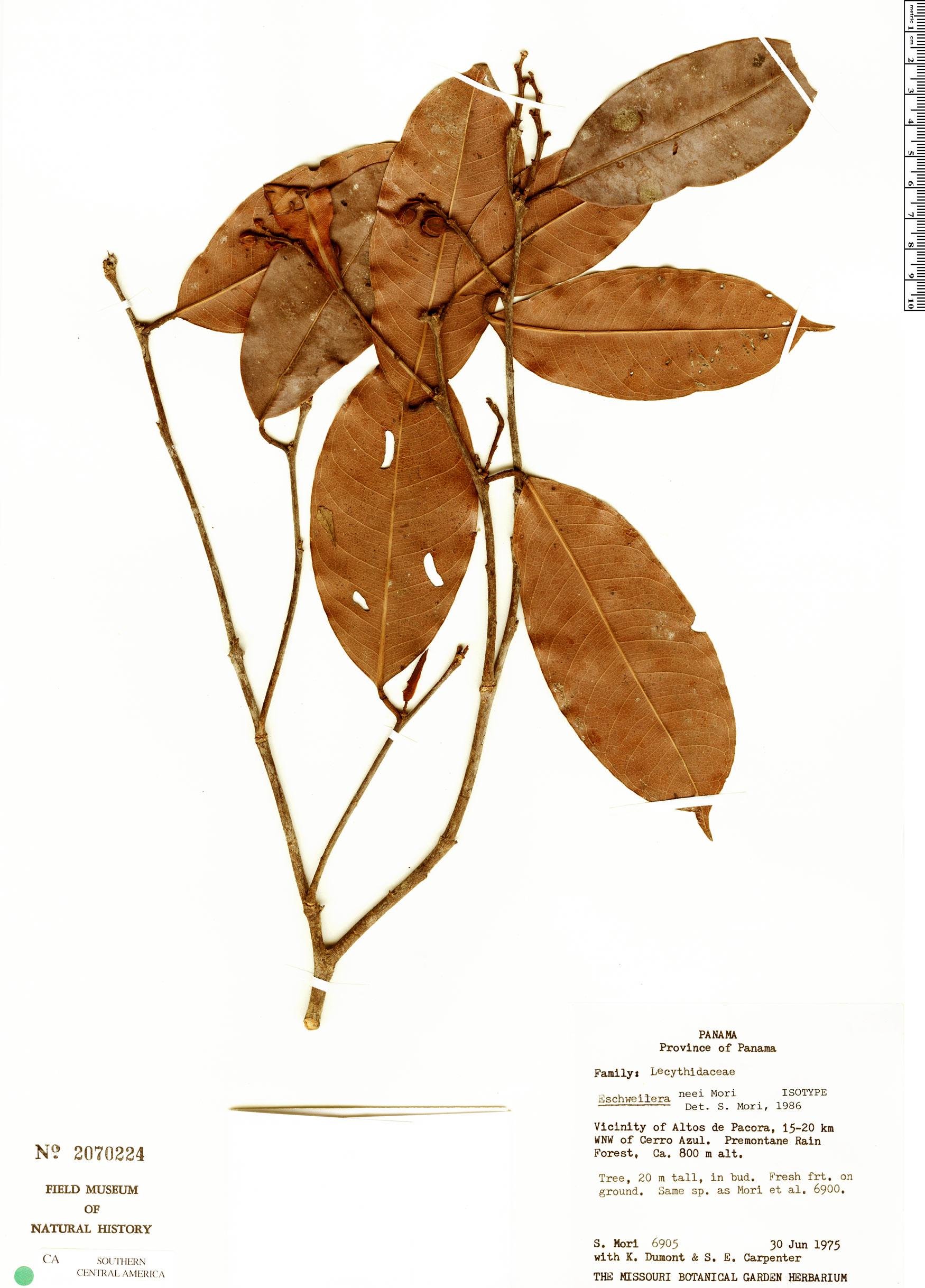 Specimen: Eschweilera neei