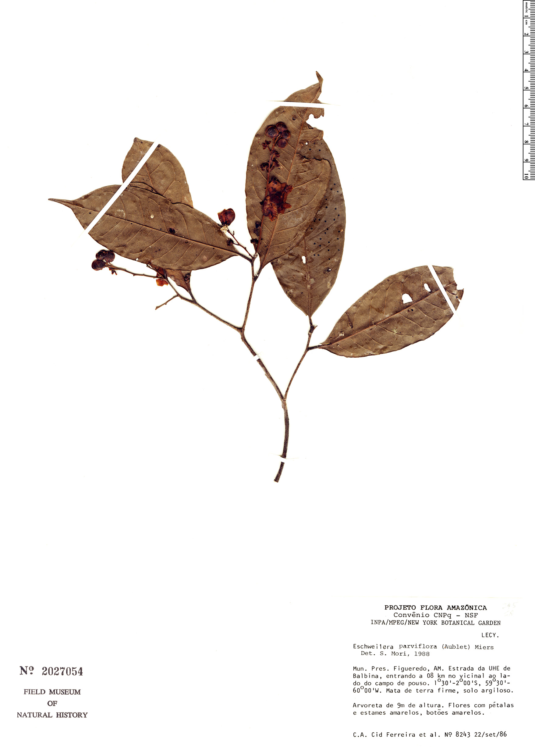 Specimen: Eschweilera parviflora