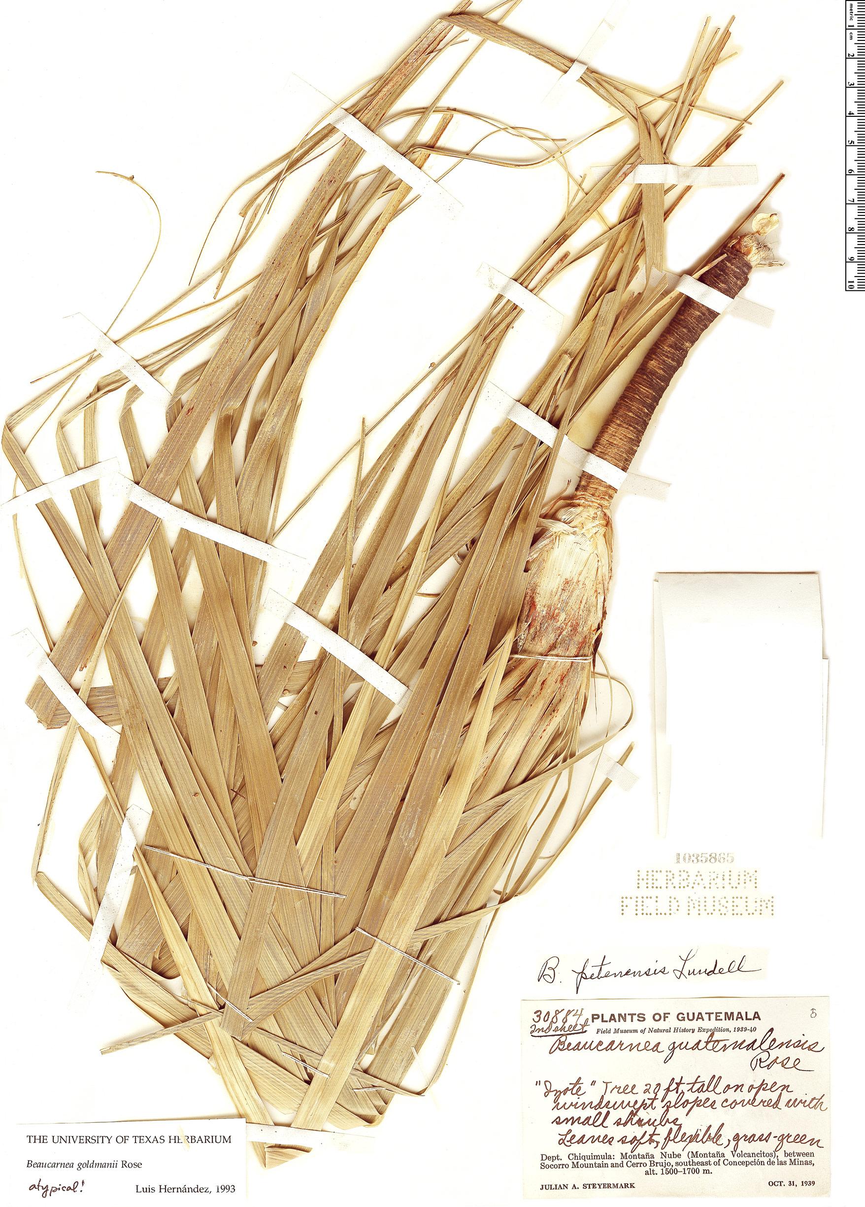 Specimen: Beaucarnea goldmanii