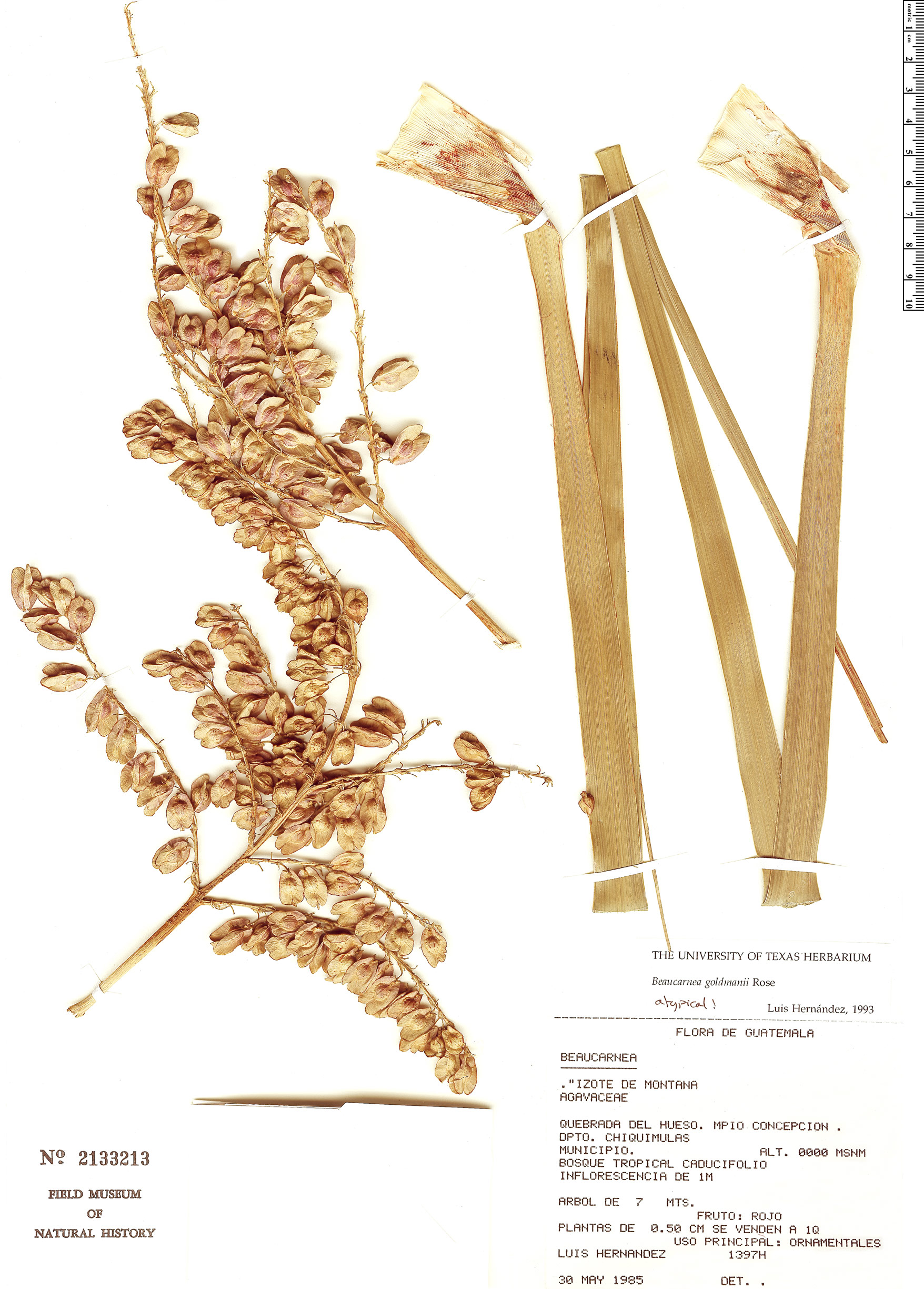 Specimen: Beaucarnea goldmanii