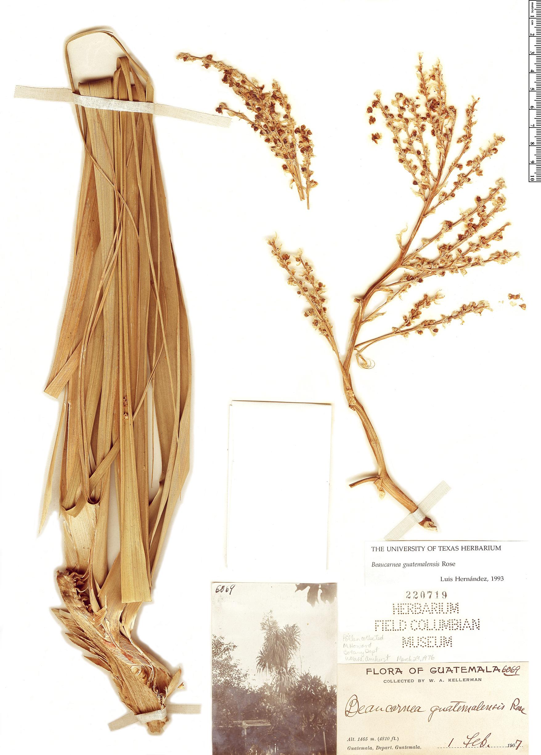 Specimen: Beaucarnea guatemalensis