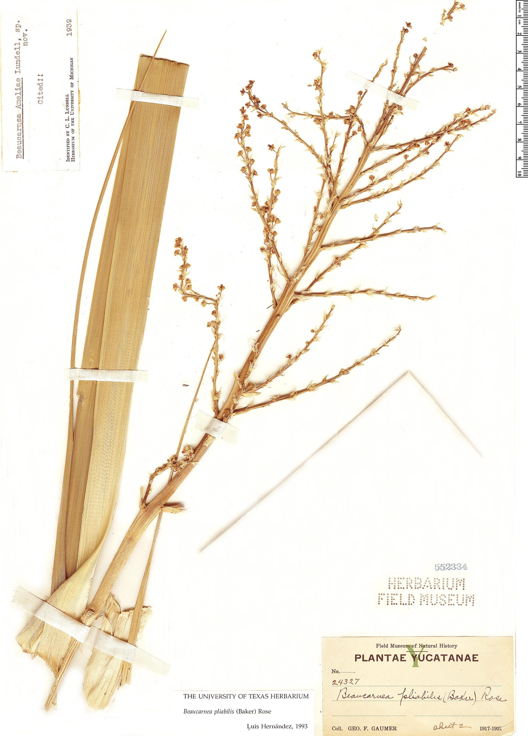 Specimen: Beaucarnea pliabilis