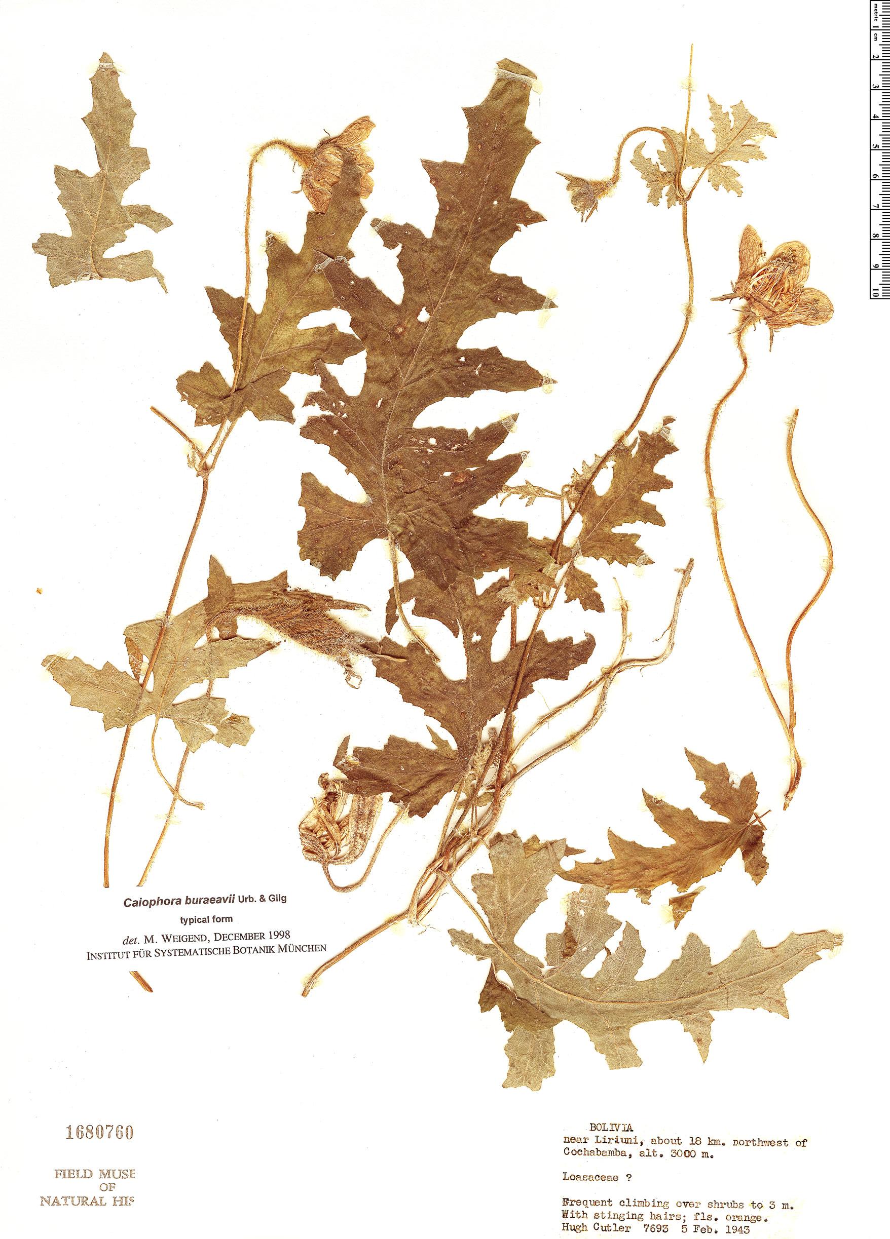Specimen: Caiophora buraeavii