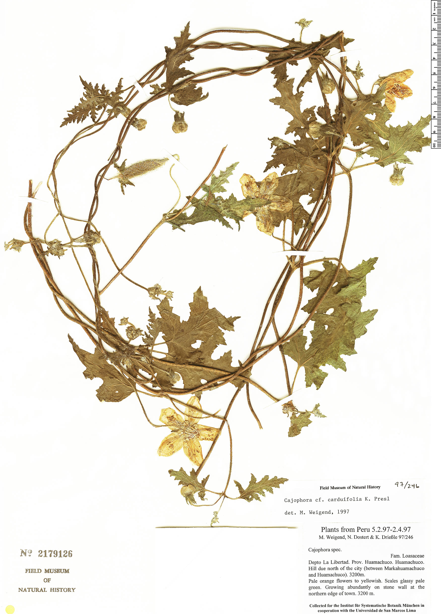 Specimen: Caiophora carduifolia