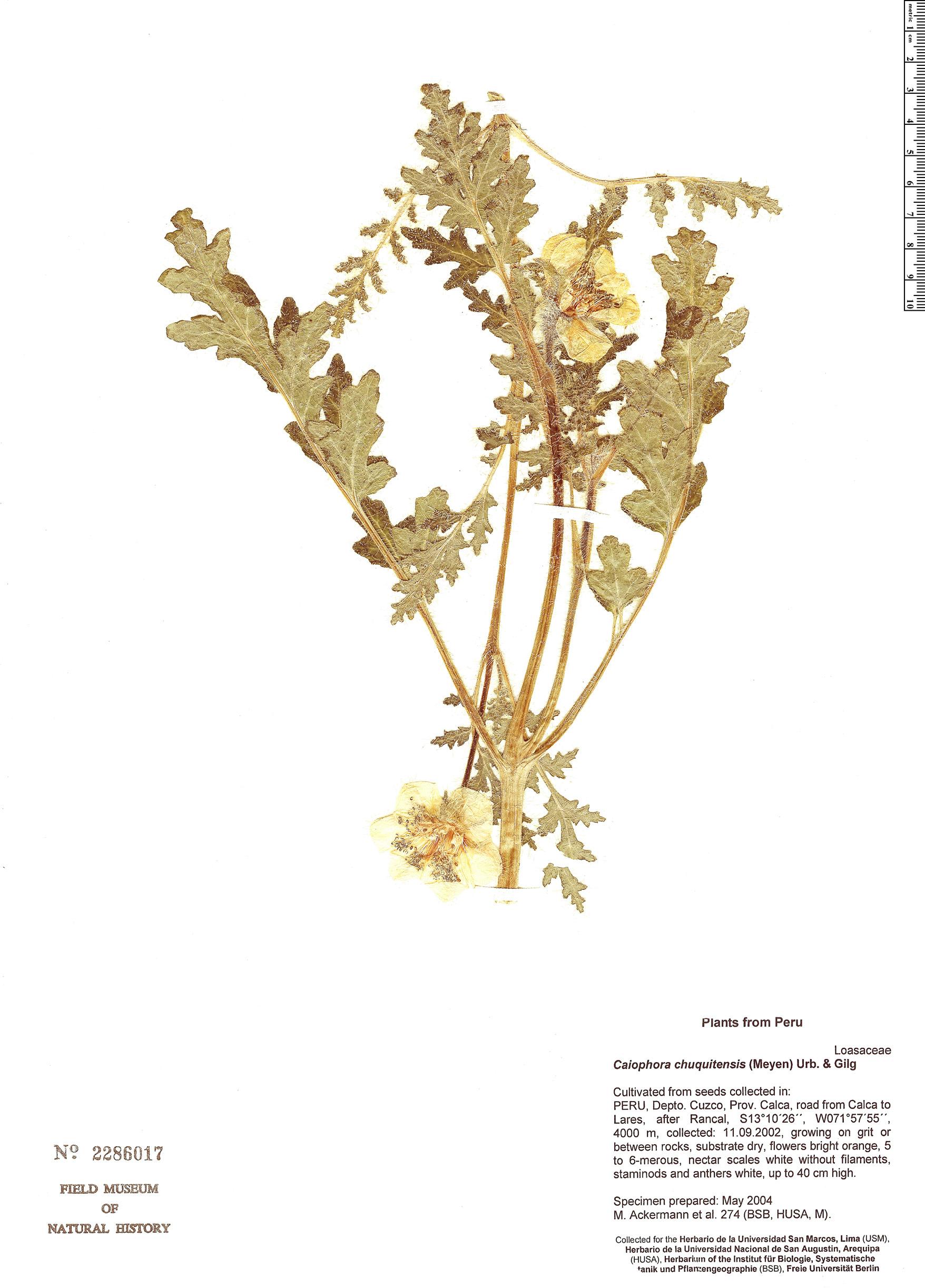 Specimen: Caiophora chuquitensis