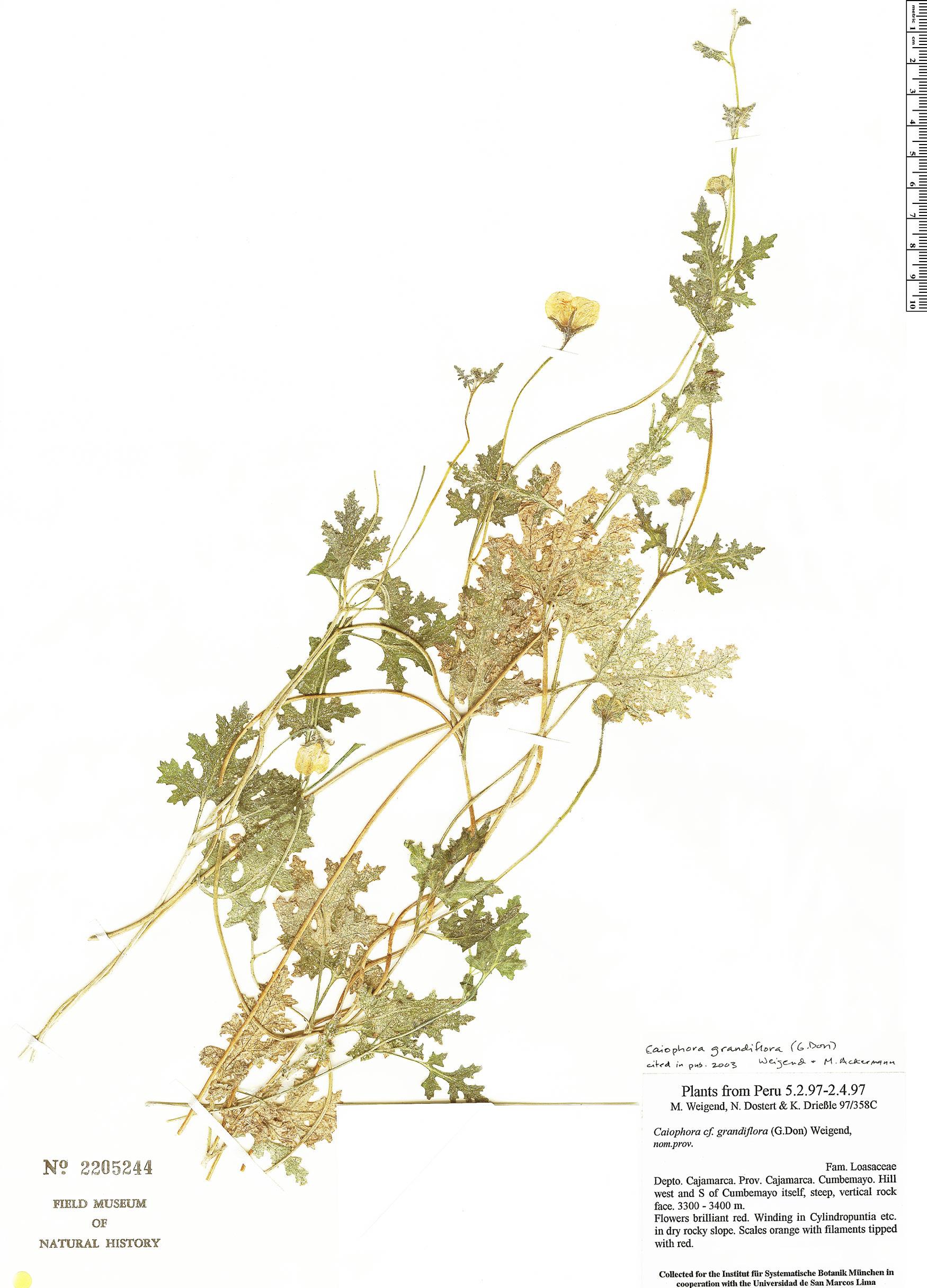Specimen: Caiophora grandiflora