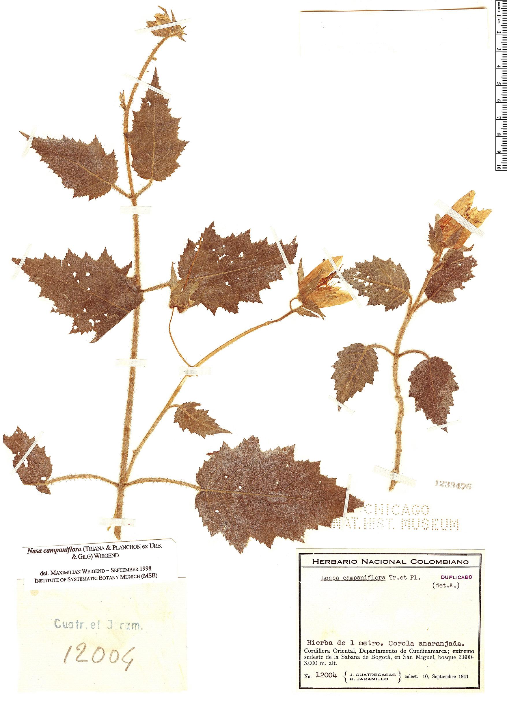 Specimen: Nasa campaniflora