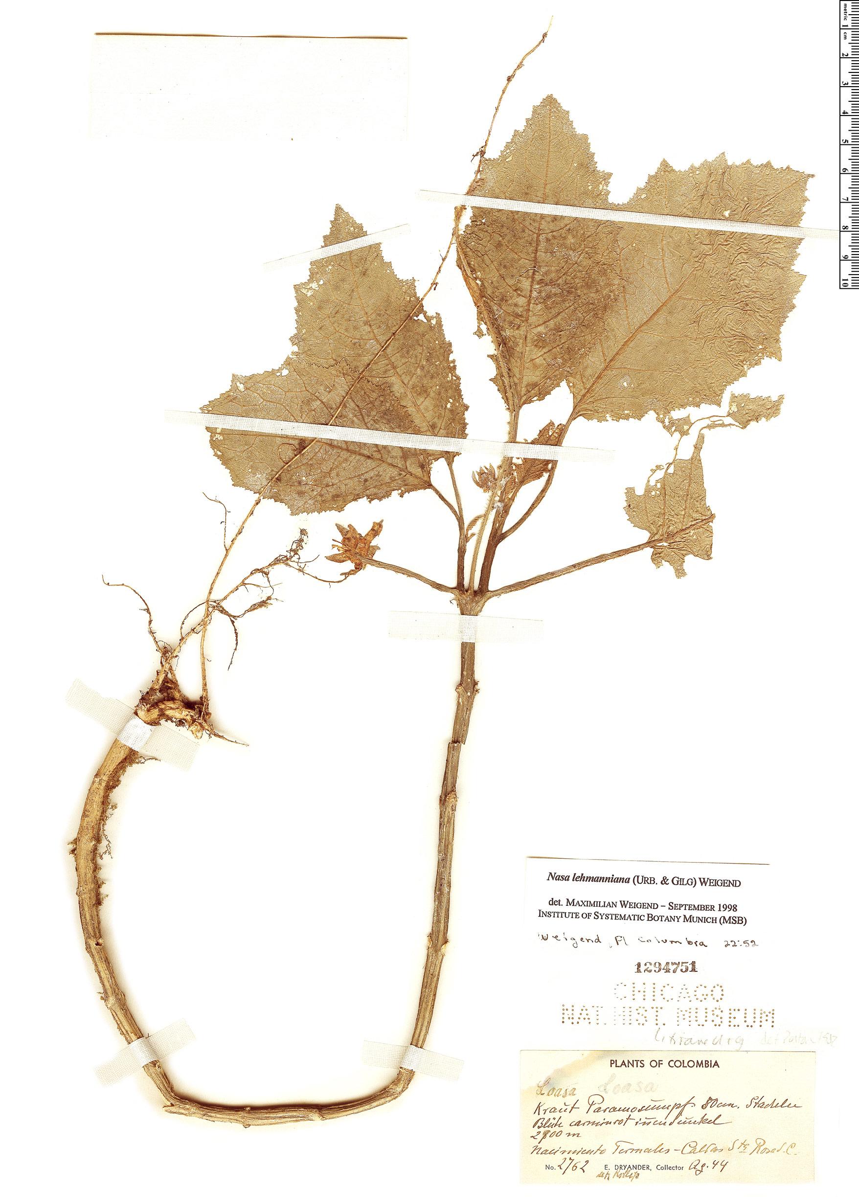 Specimen: Nasa lehmanniana