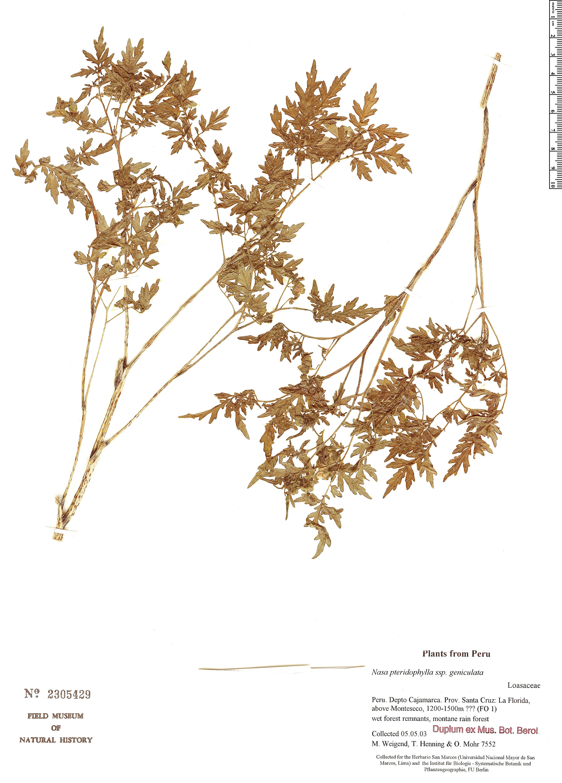 Espécimen: Nasa pteridophylla