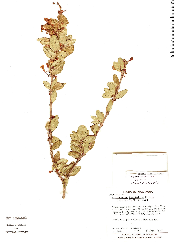 Specimen: Plocosperma buxifolium