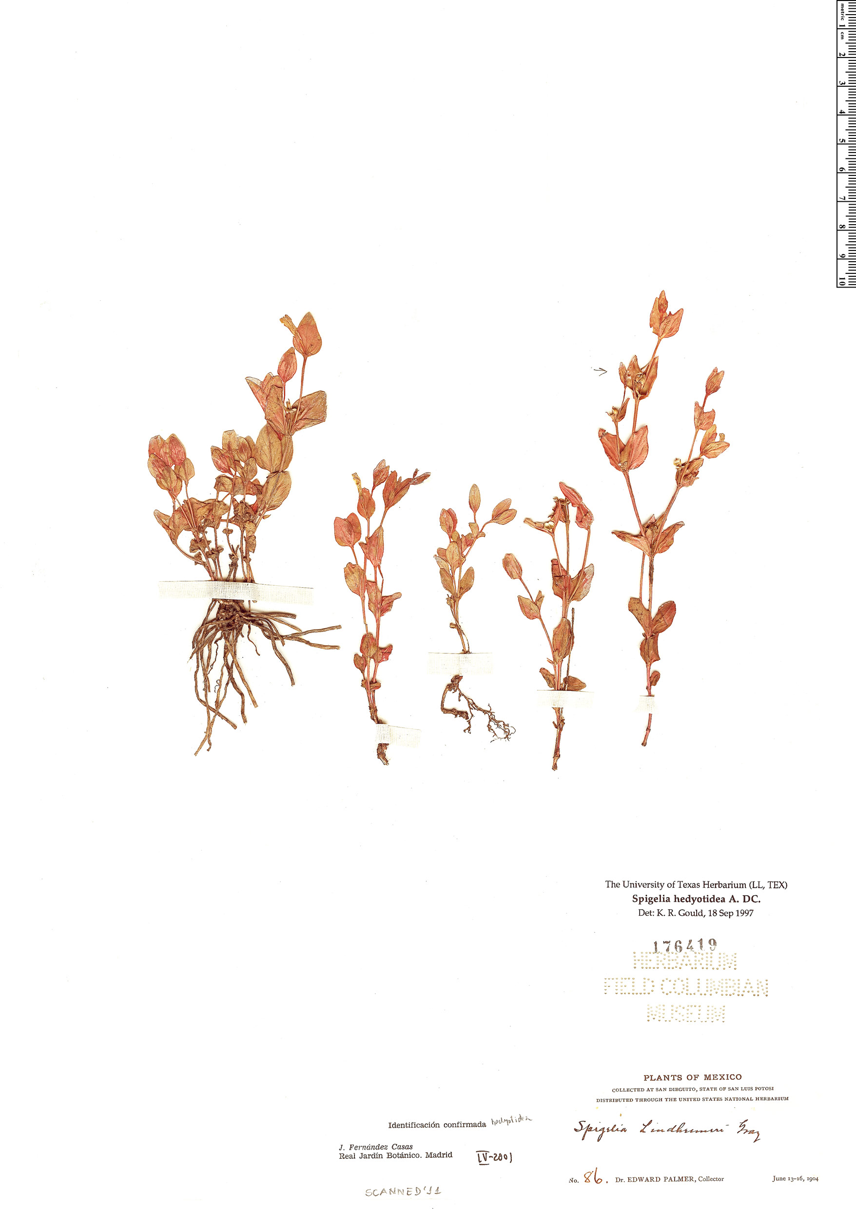Specimen: Spigelia hedyotidea