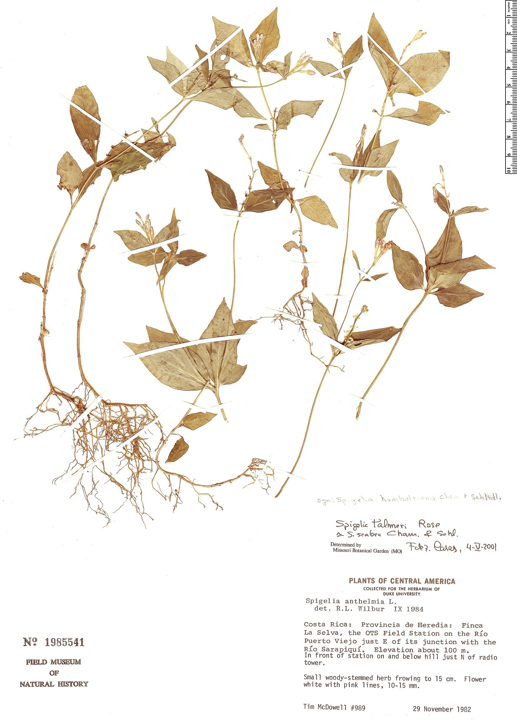 Specimen: Spigelia humboldtiana