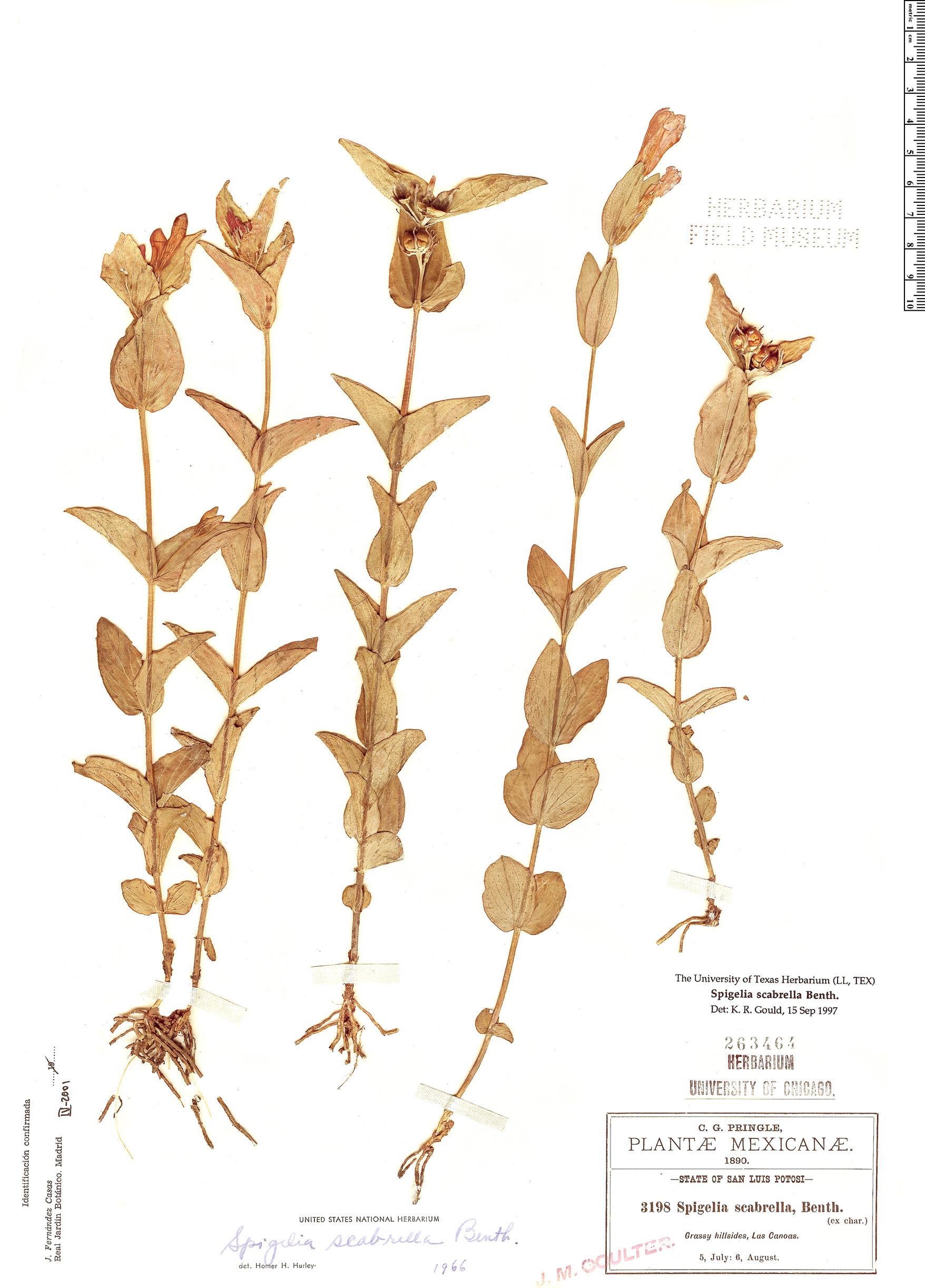 Specimen: Spigelia scabrella