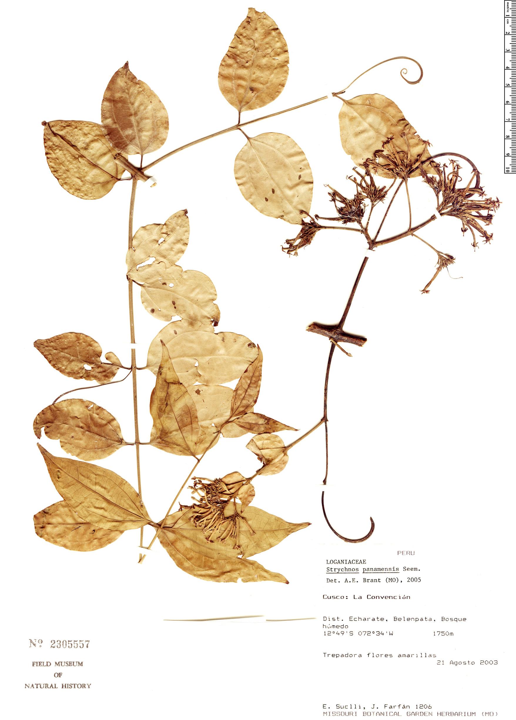 Espécimen: Strychnos panamensis