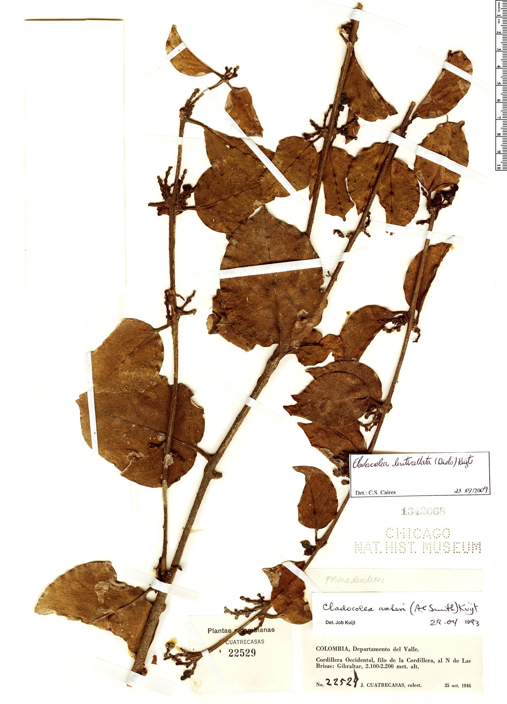 Specimen: Cladocolea lenticellata