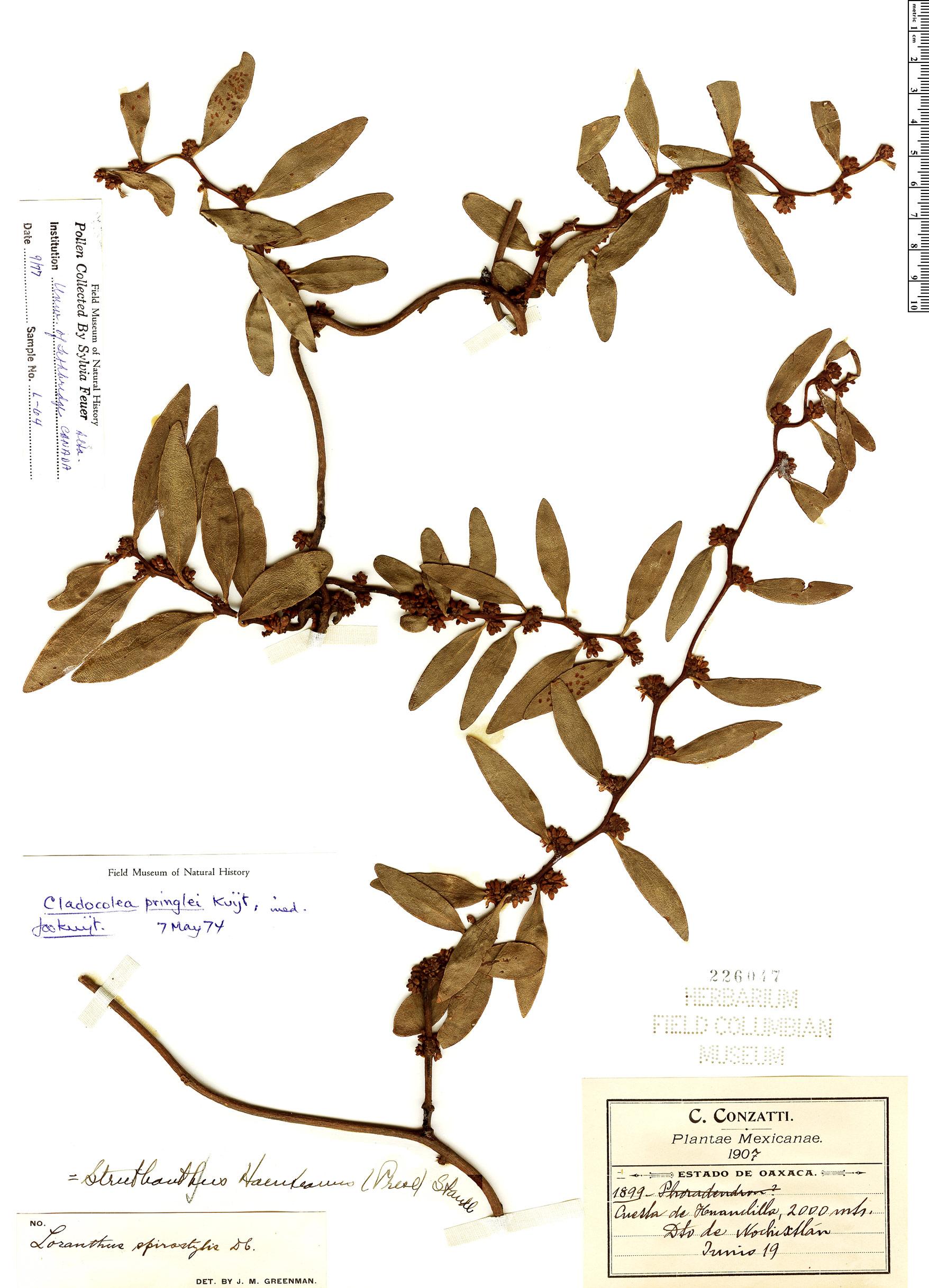 Espécime: Cladocolea pringlei