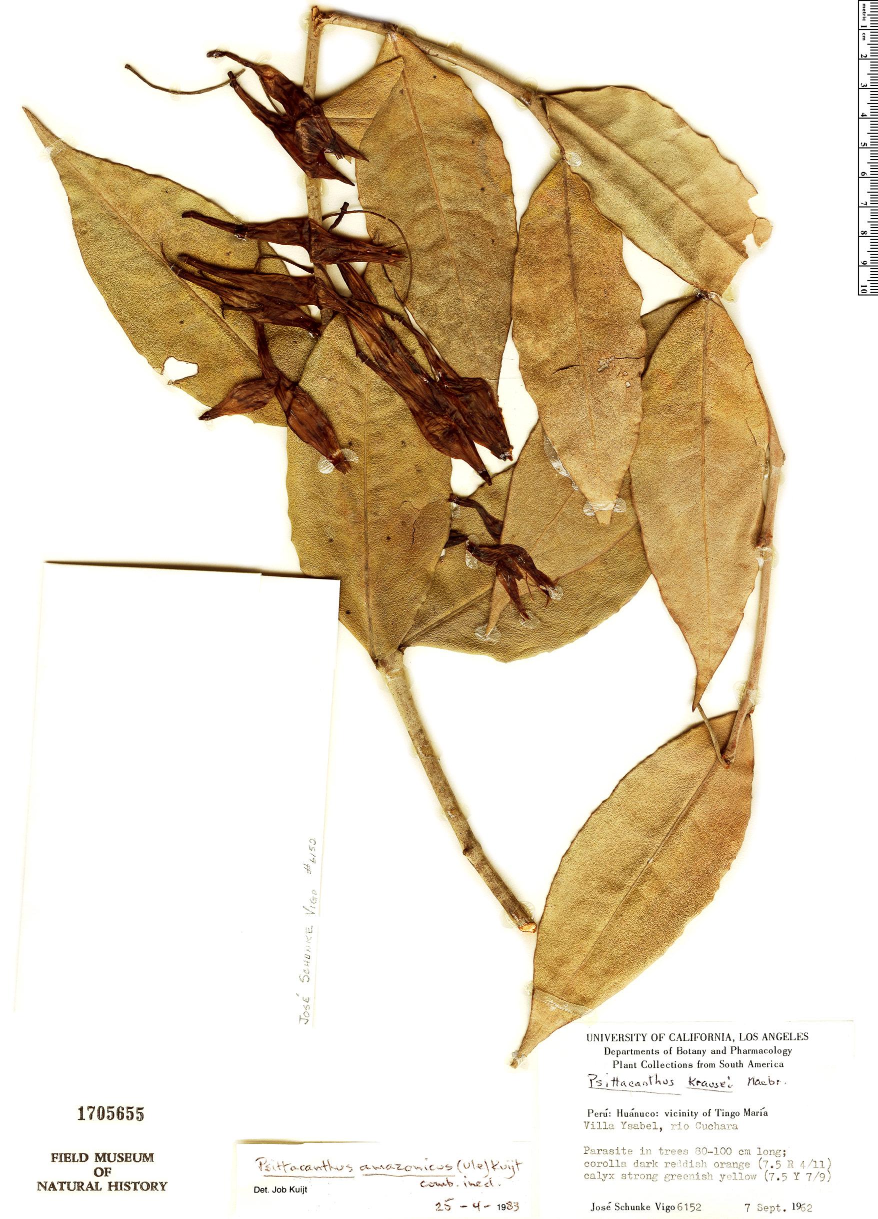 Specimen: Psittacanthus amazonicus
