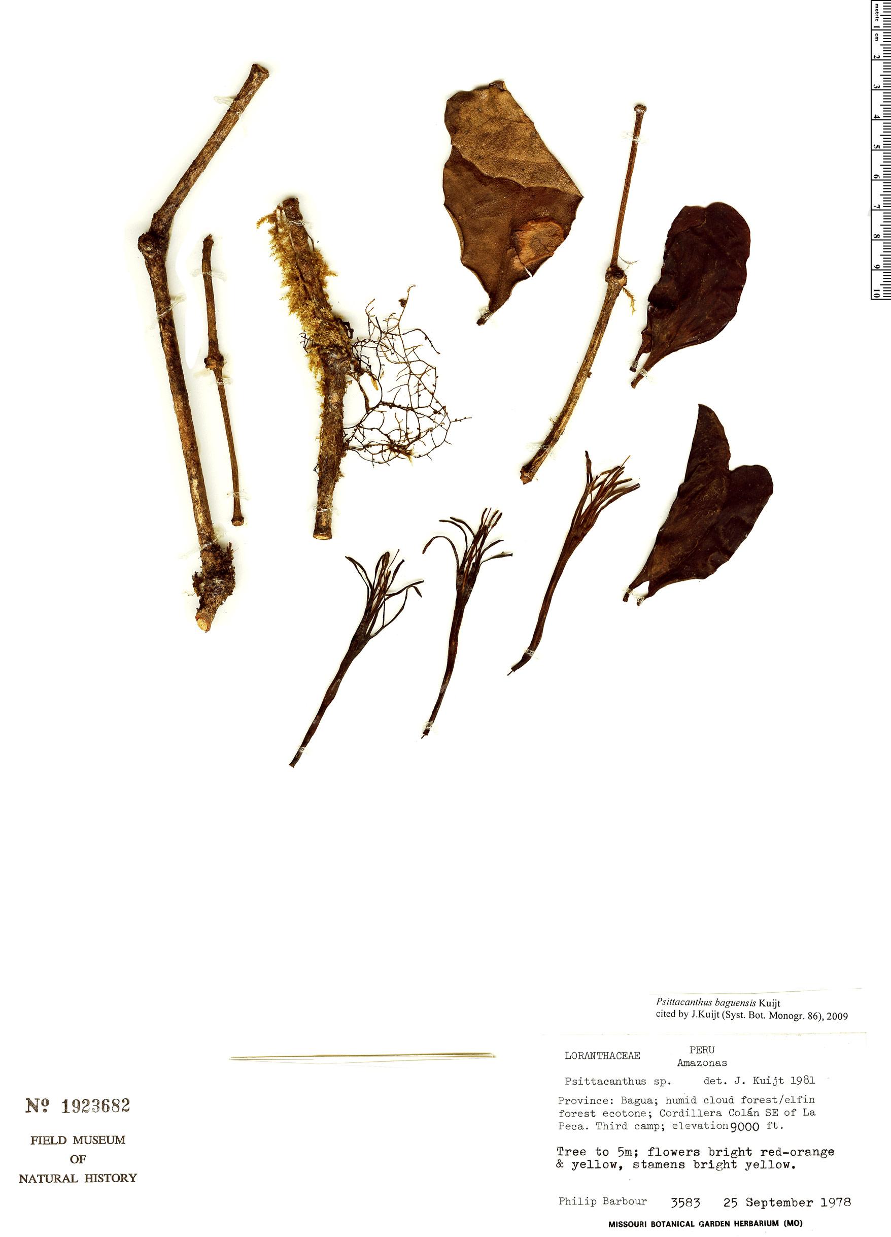 Specimen: Psittacanthus baguensis