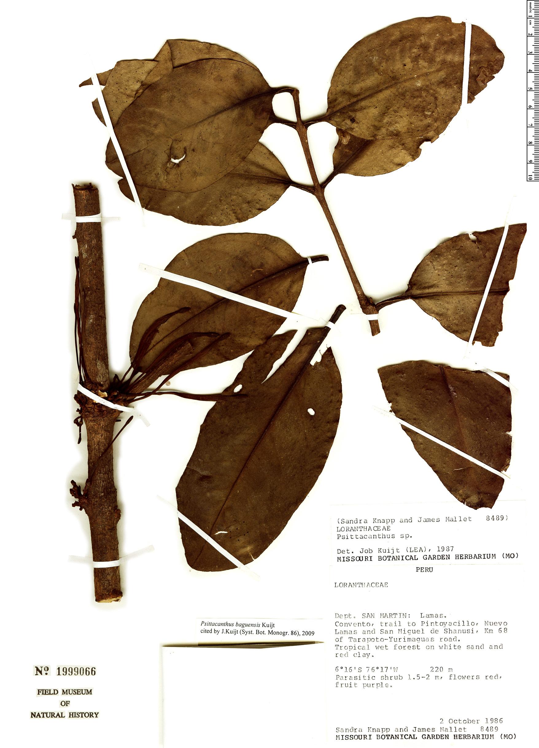 Espécime: Psittacanthus baguensis