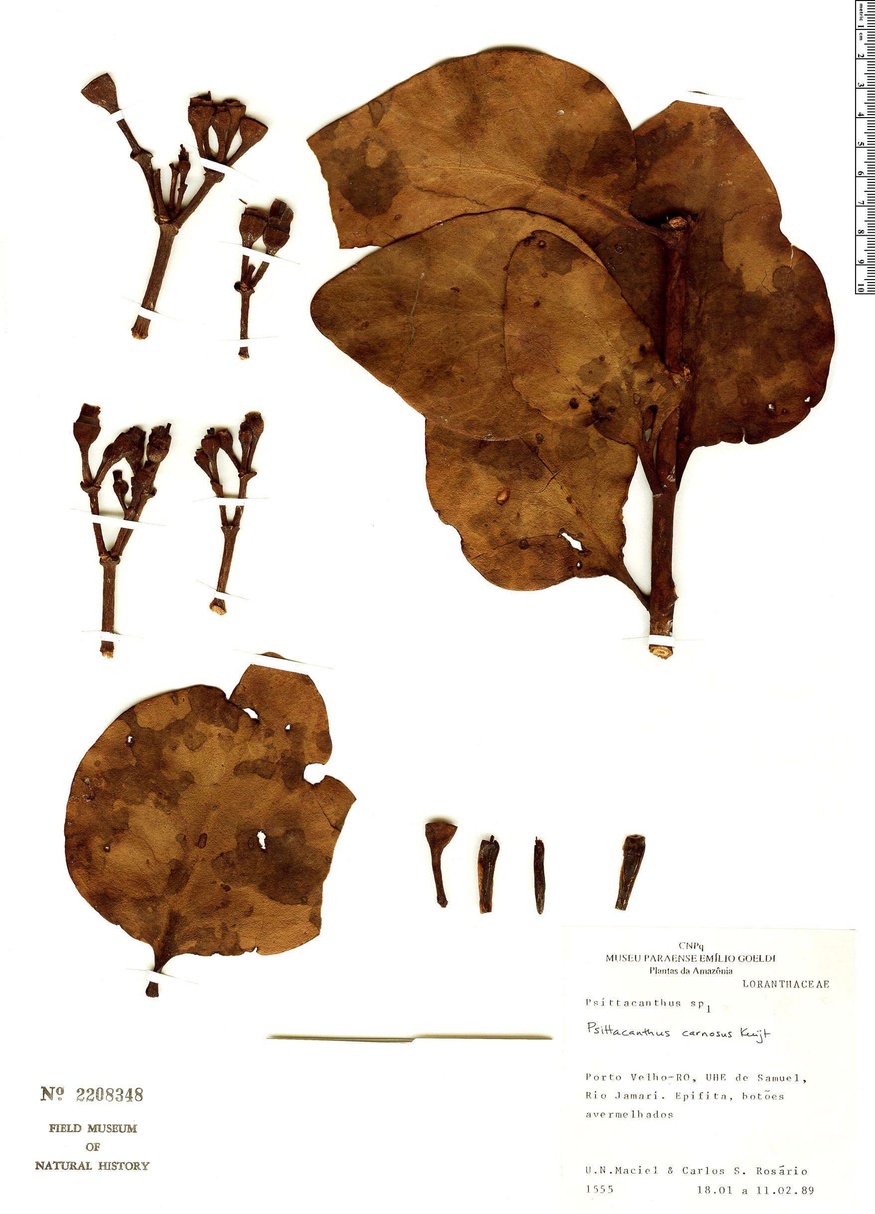 Specimen: Psittacanthus carnosus