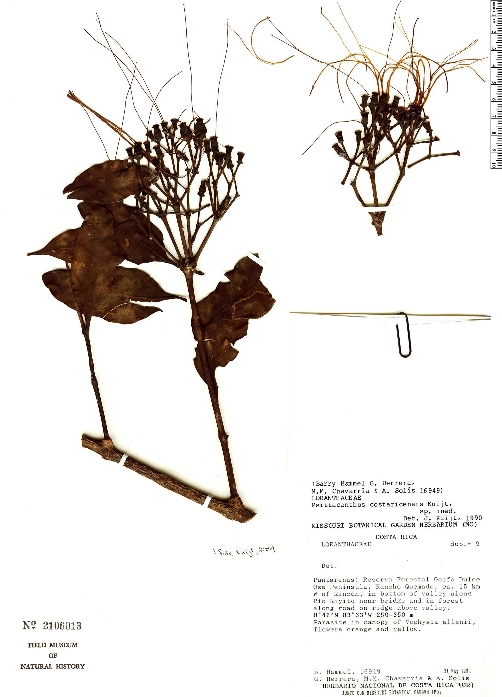 Specimen: Psittacanthus costaricensis