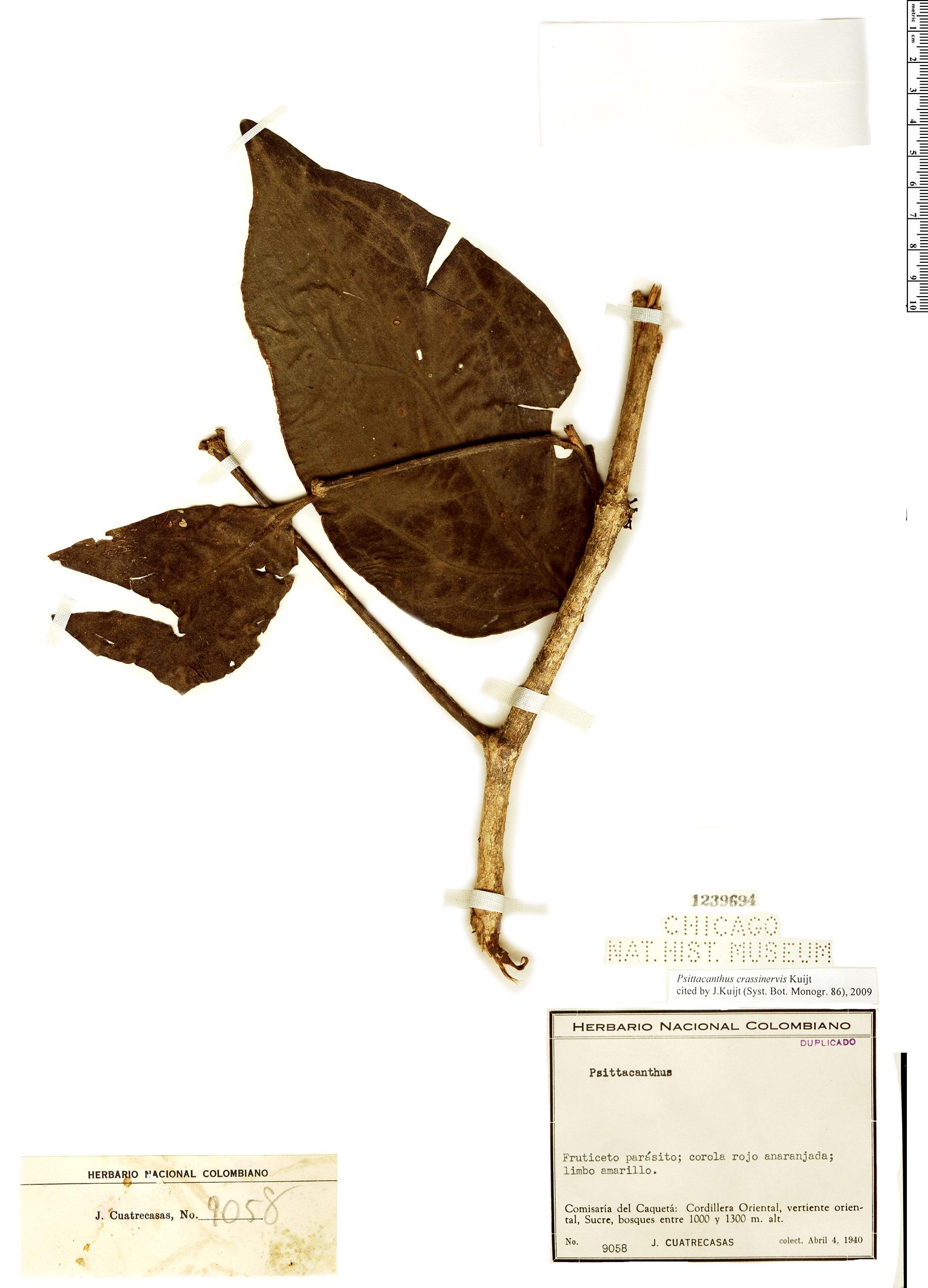 Espécimen: Psittacanthus crassinervis