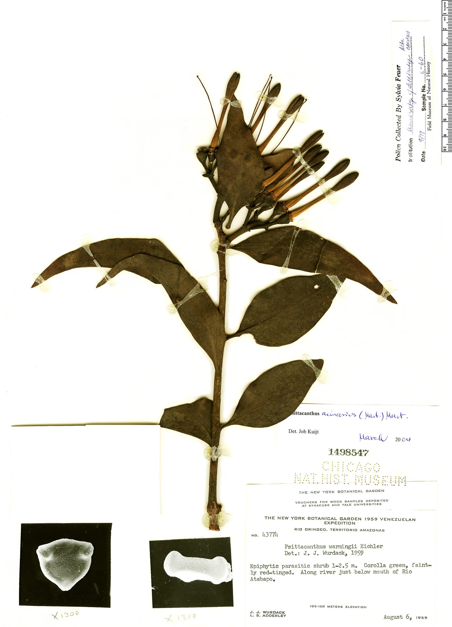 Specimen: Psittacanthus crassipes