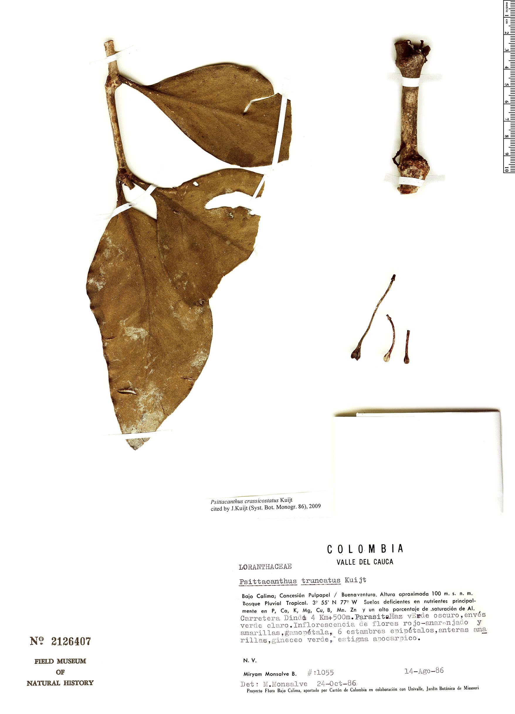 Specimen: Psittacanthus crassicostatus