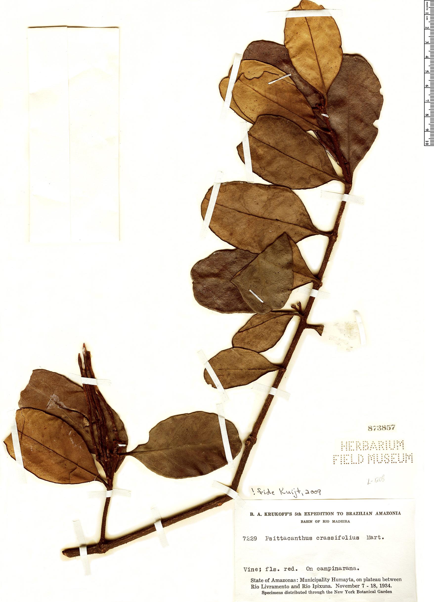 Specimen: Psittacanthus crassifolius