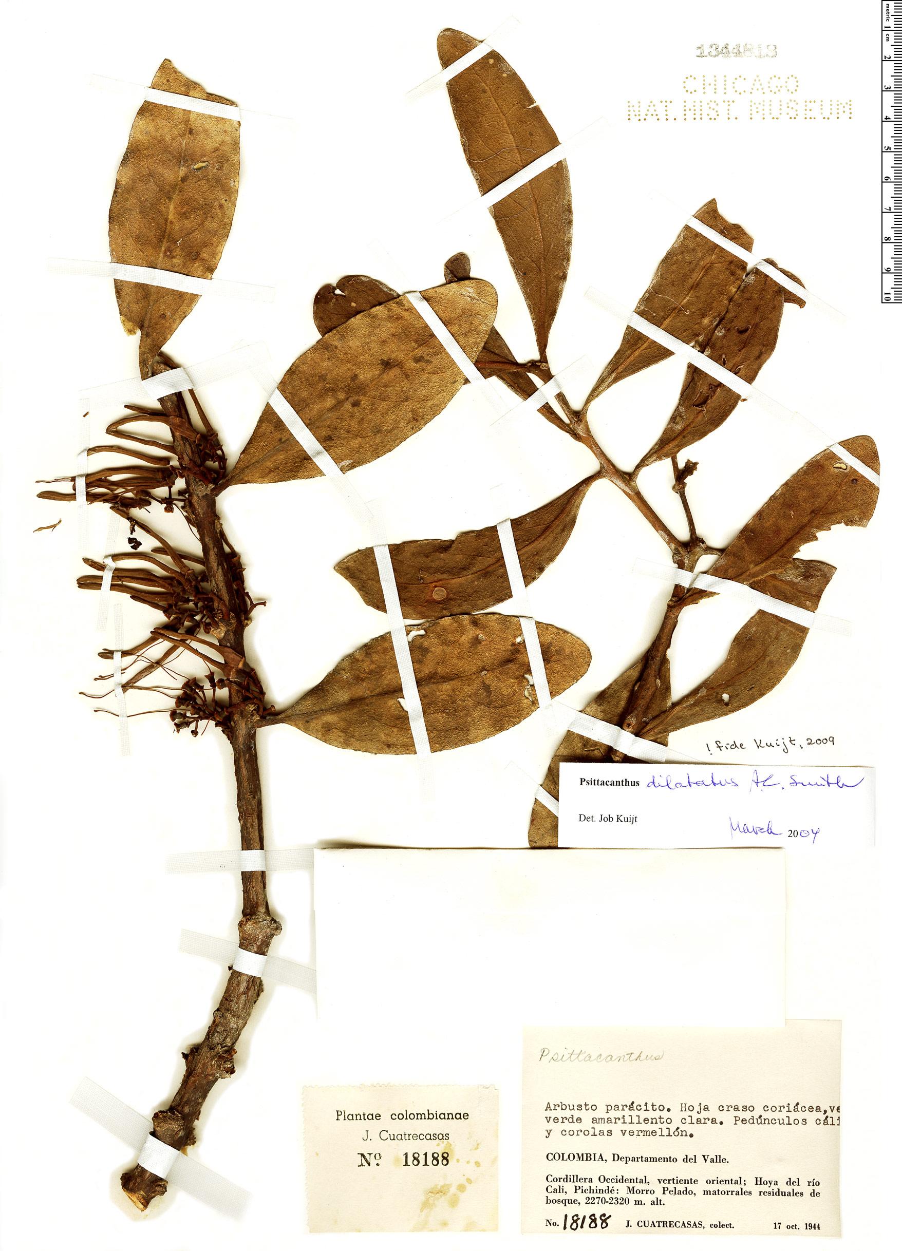 Specimen: Psittacanthus dilatatus
