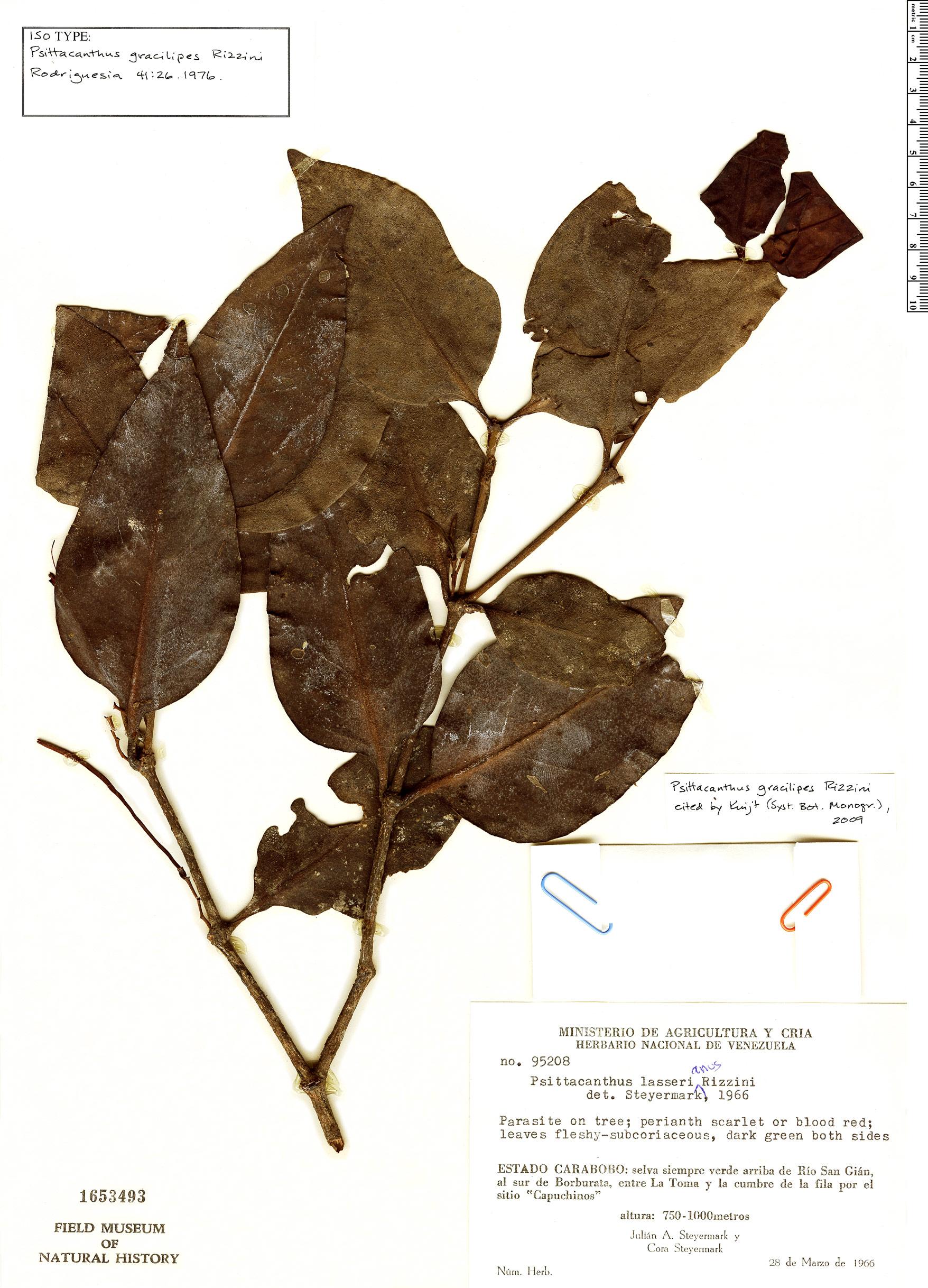 Specimen: Psittacanthus gracilipes